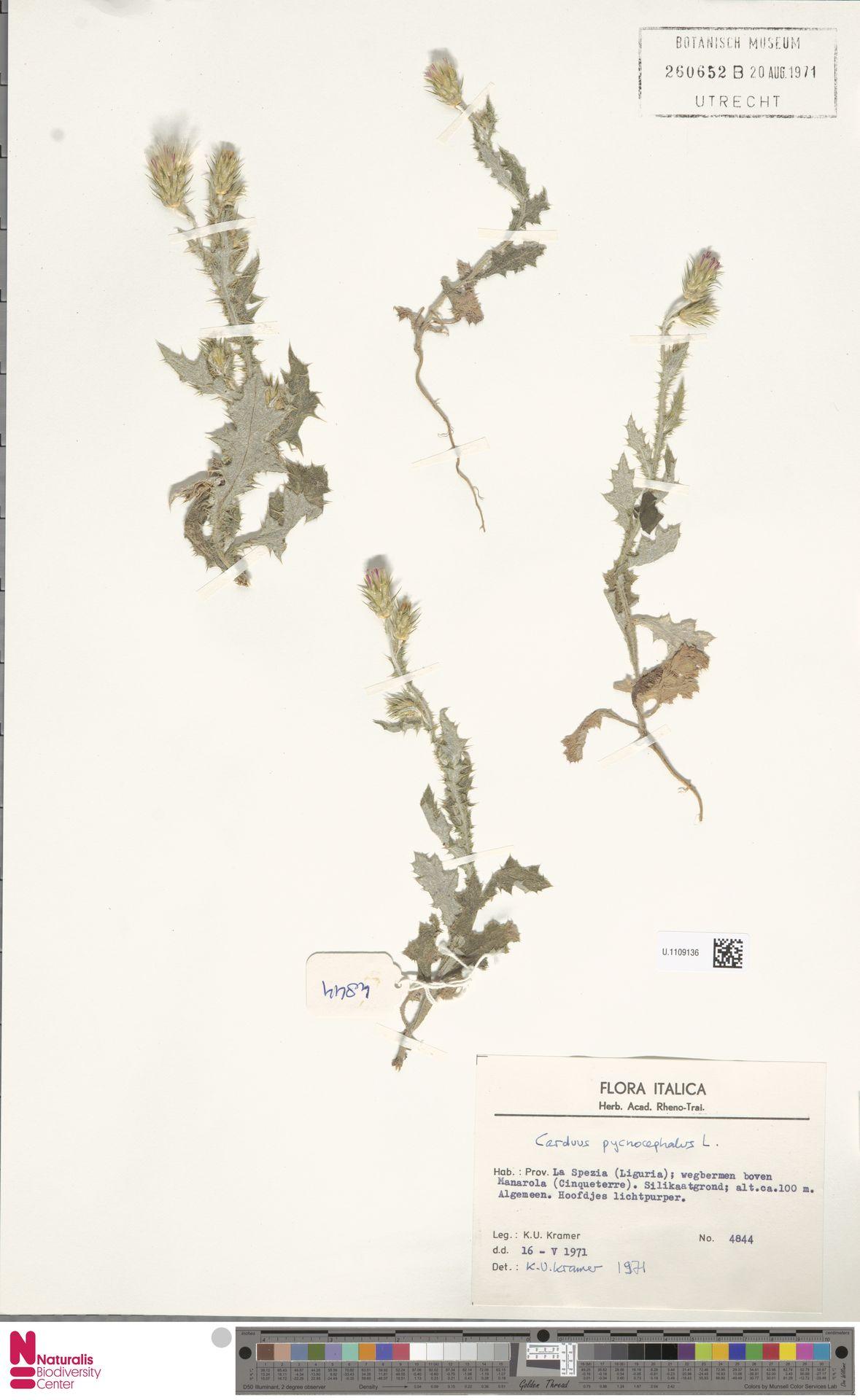 U.1109136 | Carduus pycnocephalus L.