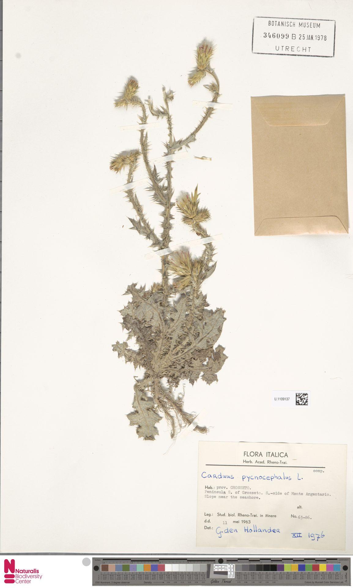 U.1109137 | Carduus pycnocephalus L.