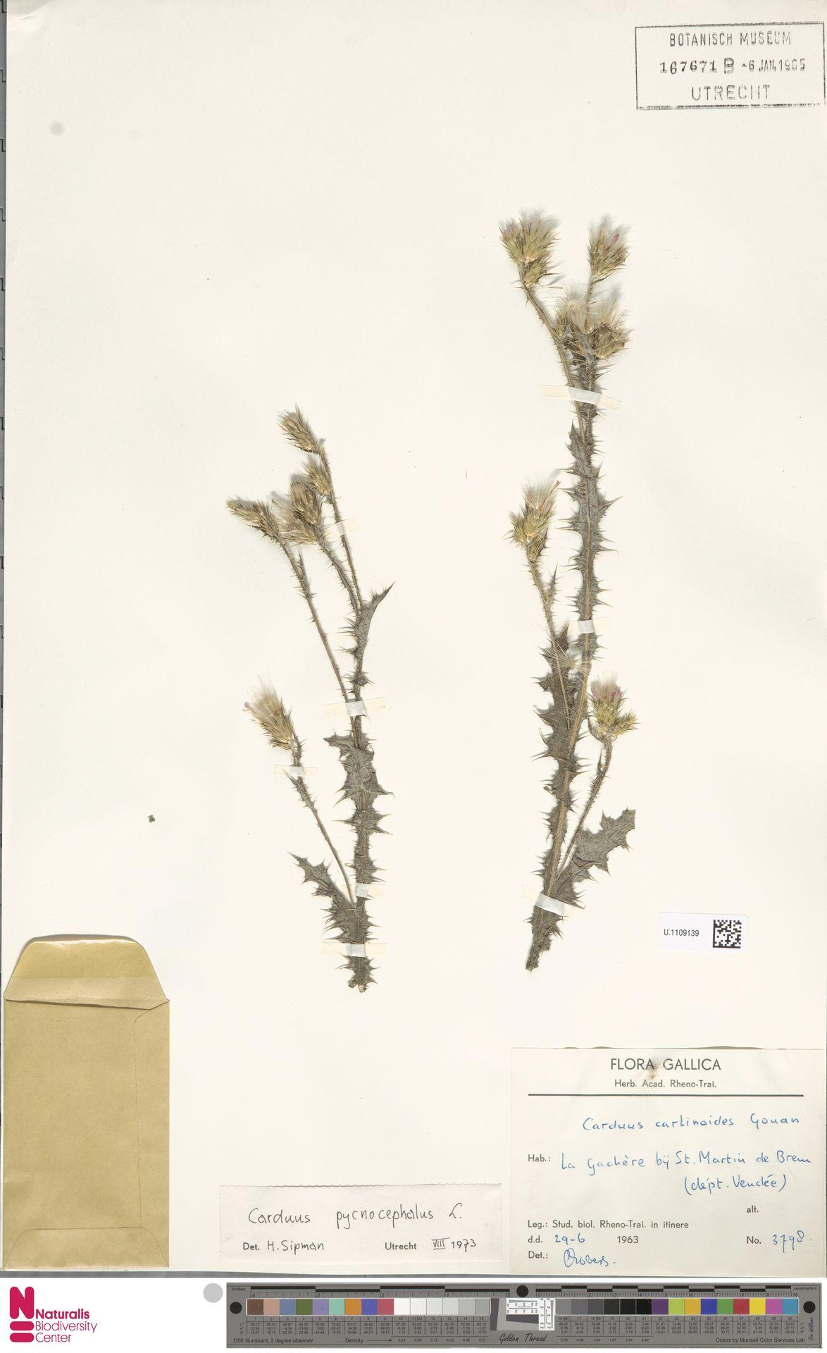 U.1109139 | Carduus pycnocephalus L.