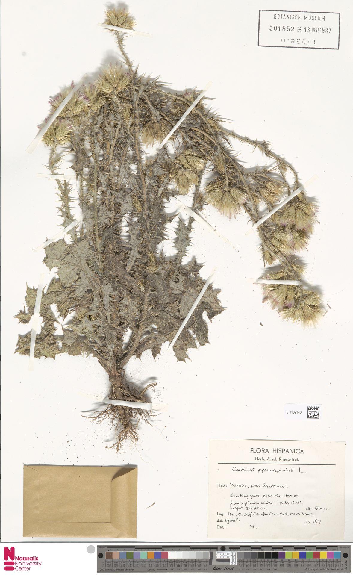 U.1109140 | Carduus pycnocephalus L.