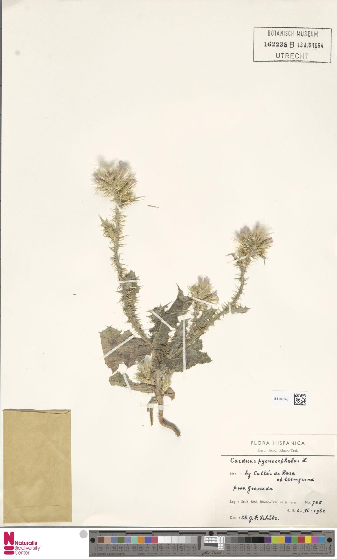 U.1109143 | Carduus pycnocephalus L.