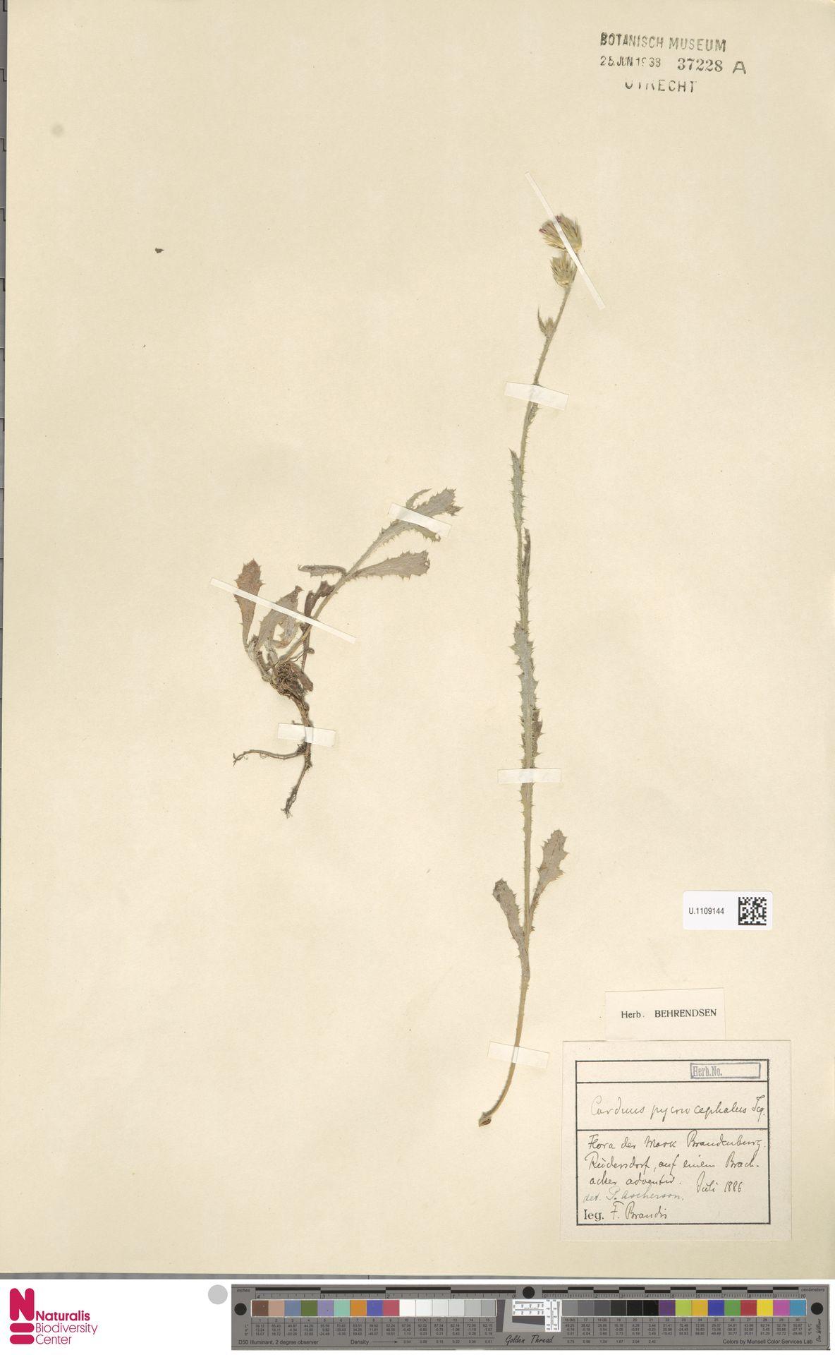 U.1109144 | Carduus pycnocephalus L.