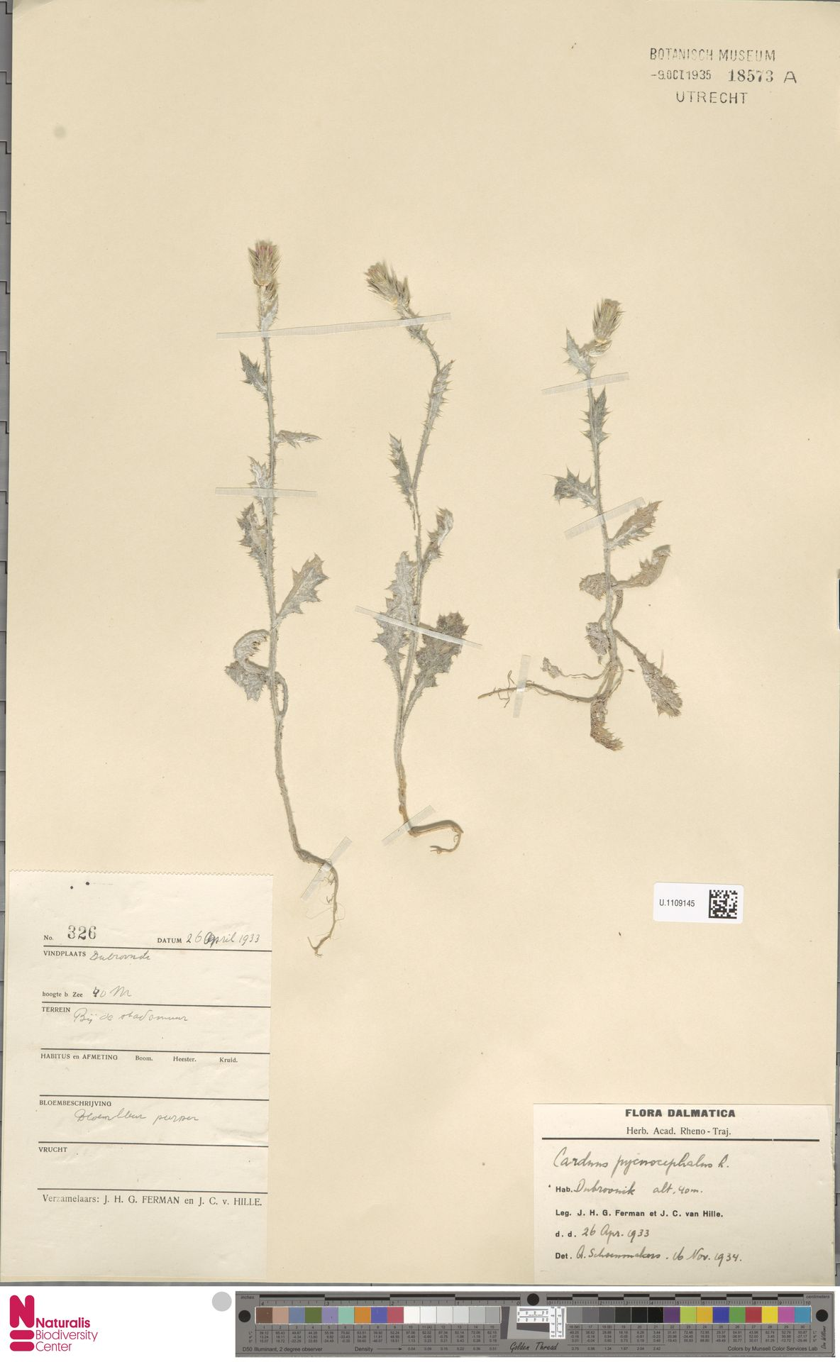 U.1109145 | Carduus pycnocephalus L.