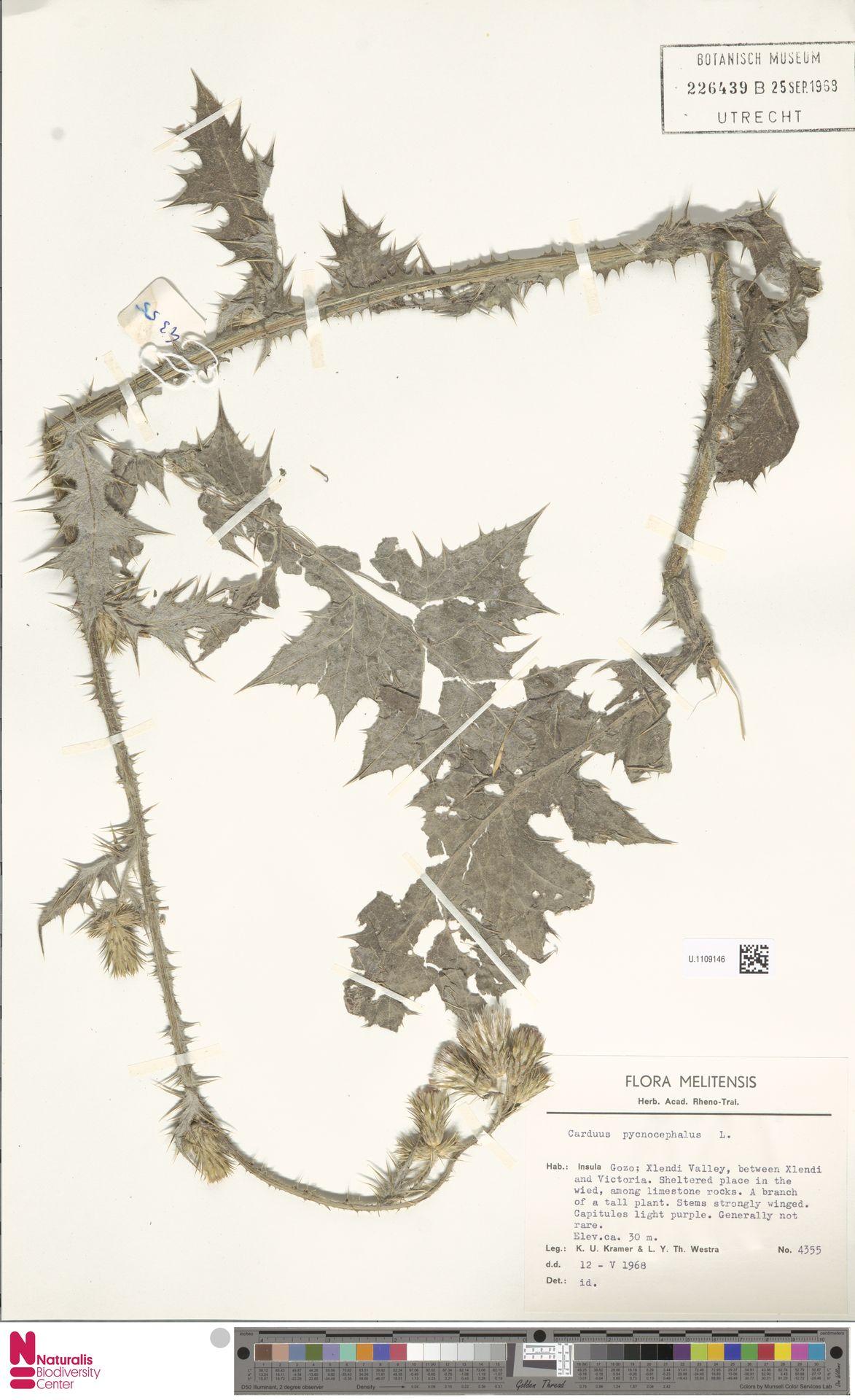 U.1109146 | Carduus pycnocephalus L.