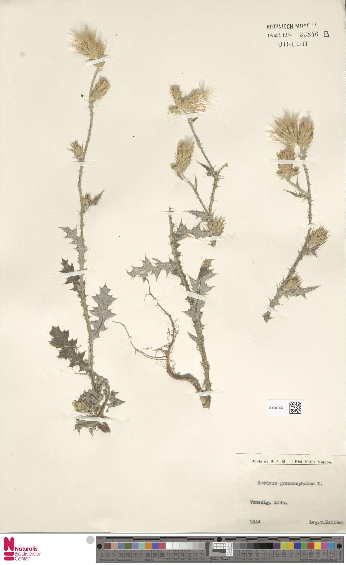 U.1109147 | Carduus pycnocephalus L.