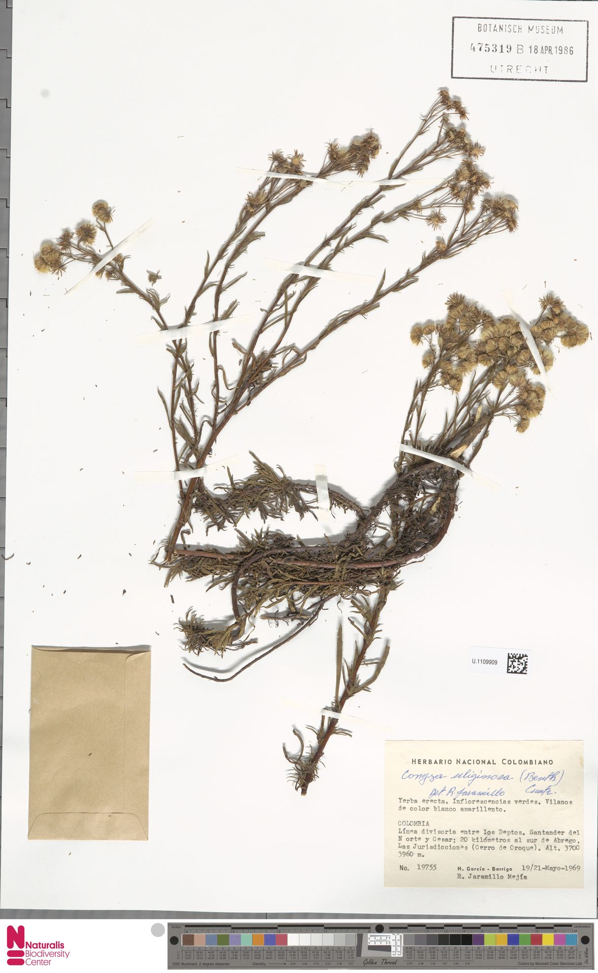 U.1109909 | Conyza uliginosa (Benth.) Cuatrec.