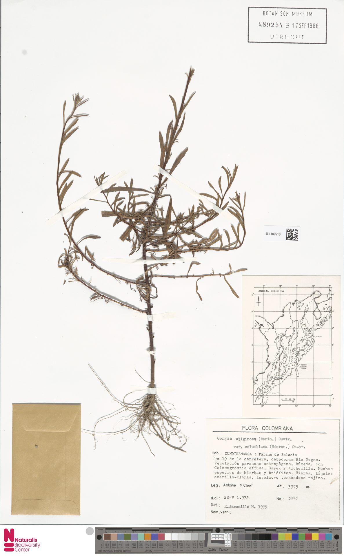 U.1109913 | Conyza uliginosa var. columbiana (Hieron.) Cuatrec.
