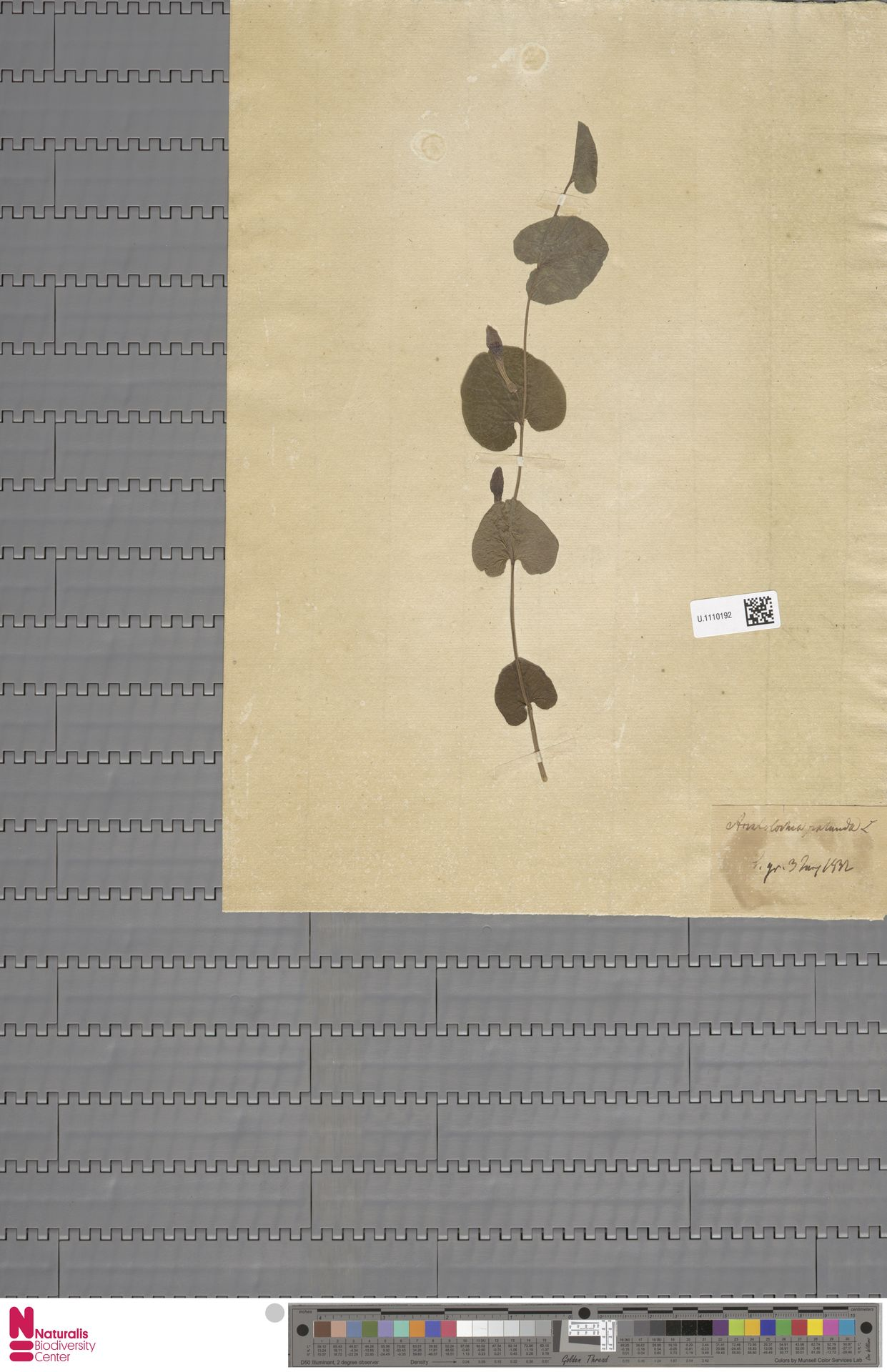 U.1110192 | Aristolochia rotunda L.