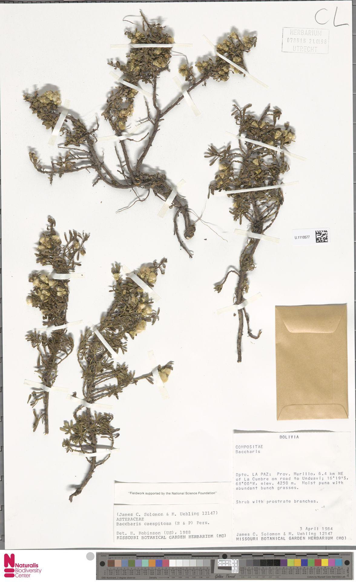 U.1110577 | Baccharis caespitosa (Ruiz & Pav.) Pers.