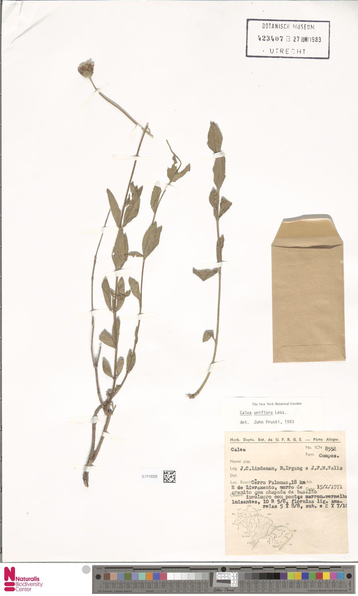 U.1115325 | Calea uniflora Less.