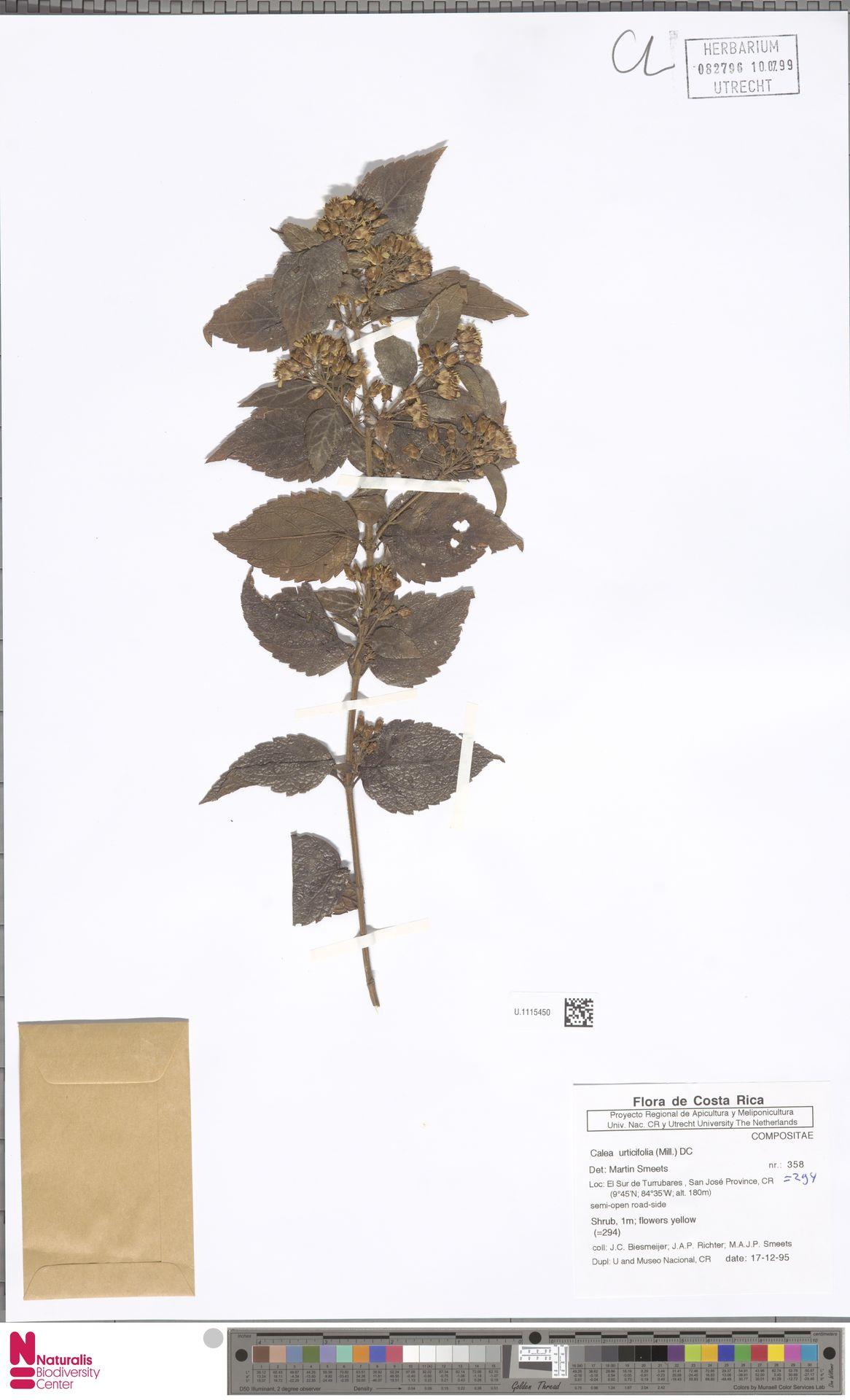 U.1115450 | Calea urticifolia (Mill.) DC.