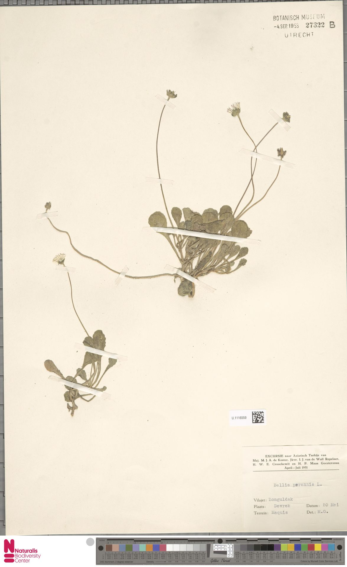 U.1116559 | Bellis perennis L.