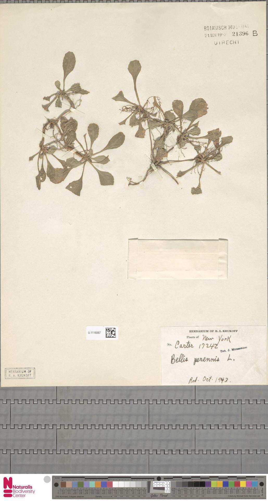 U.1116567 | Bellis perennis L.