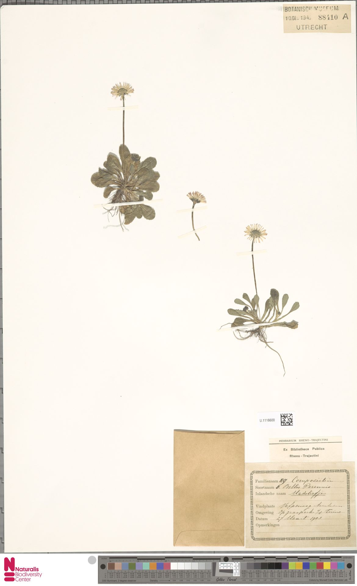 U.1116600 | Bellis perennis L.