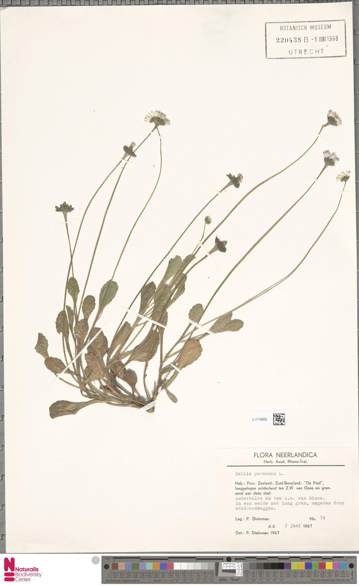 U.1116602 | Bellis perennis L.