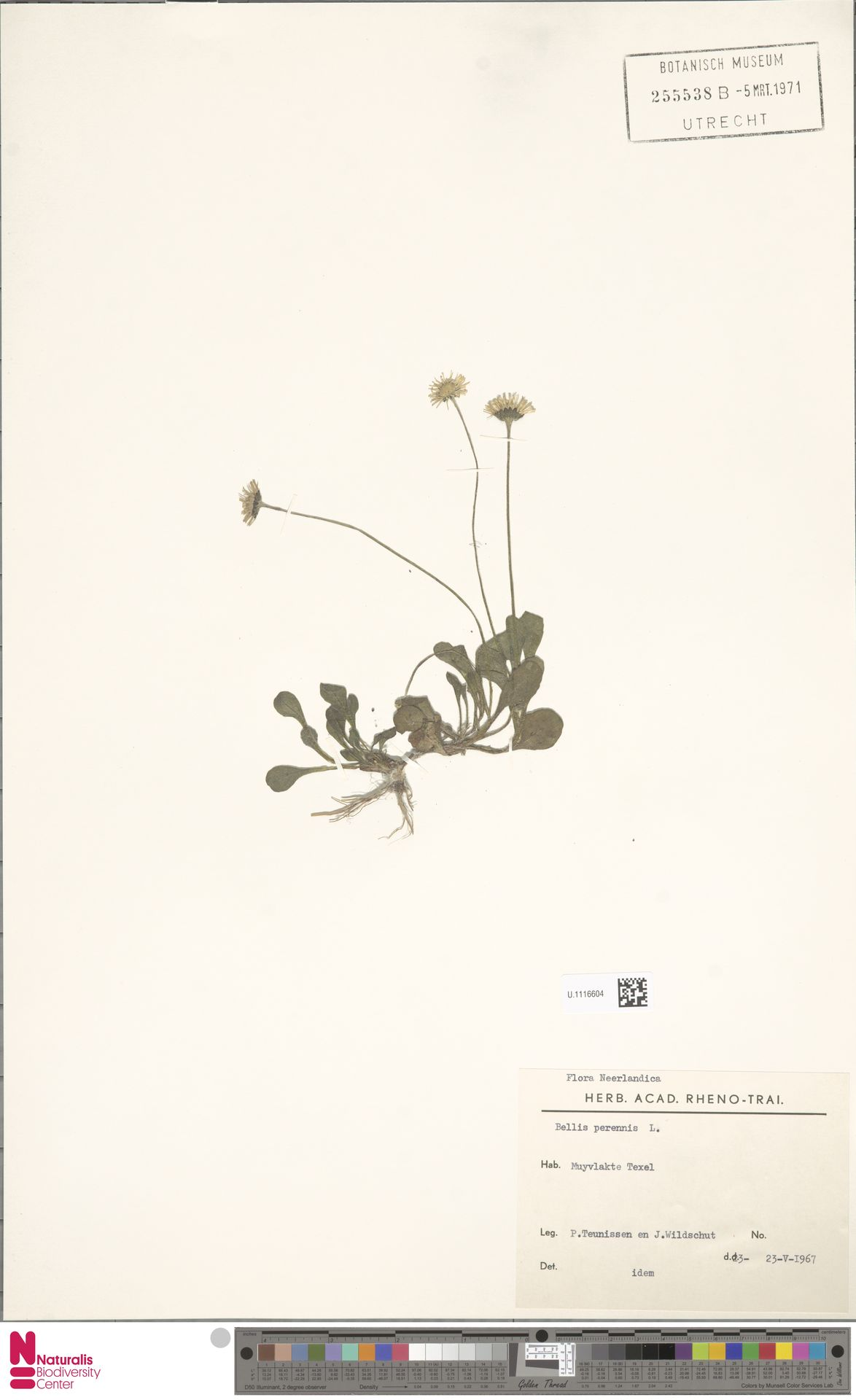 U.1116604 | Bellis perennis L.