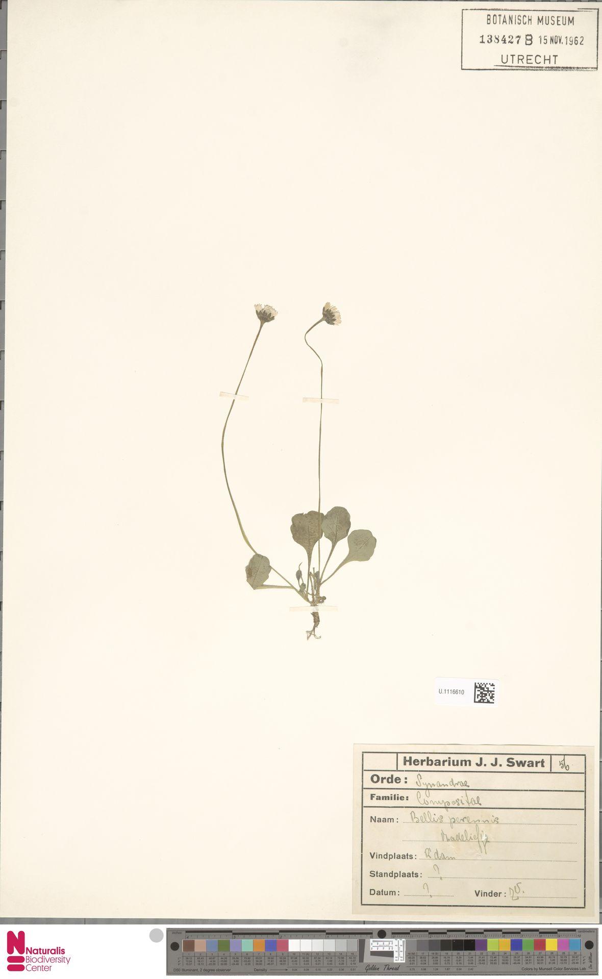 U.1116610   Bellis perennis L.