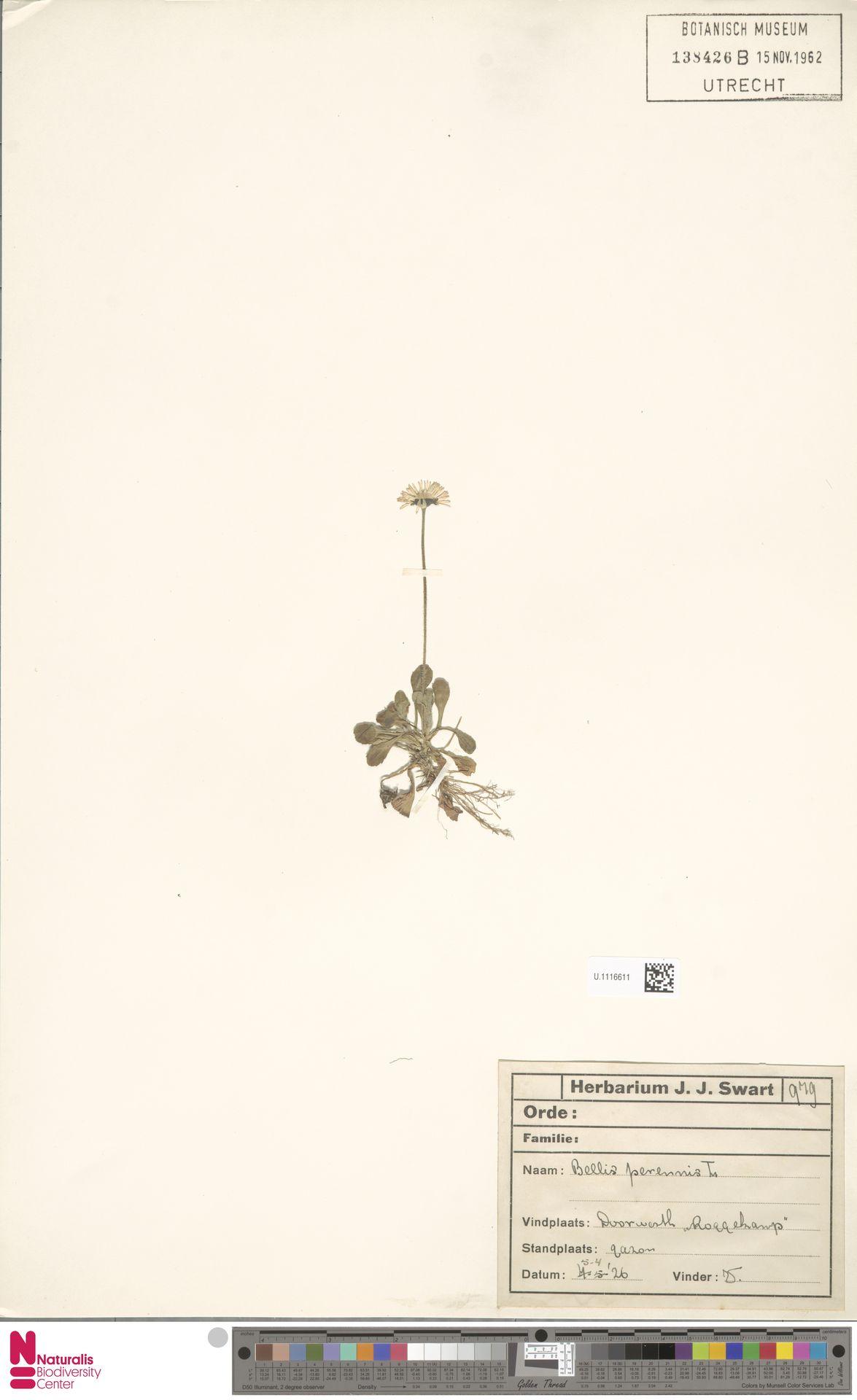 U.1116611 | Bellis perennis L.