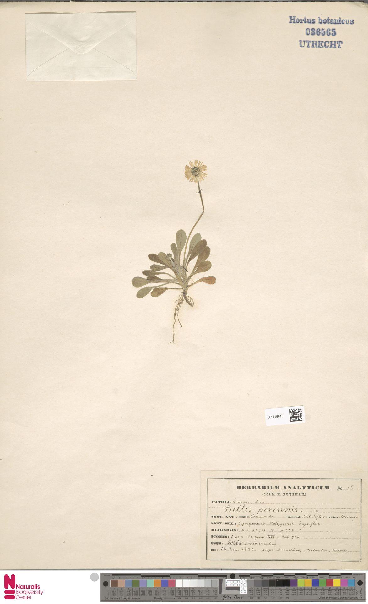 U.1116618 | Bellis perennis L.