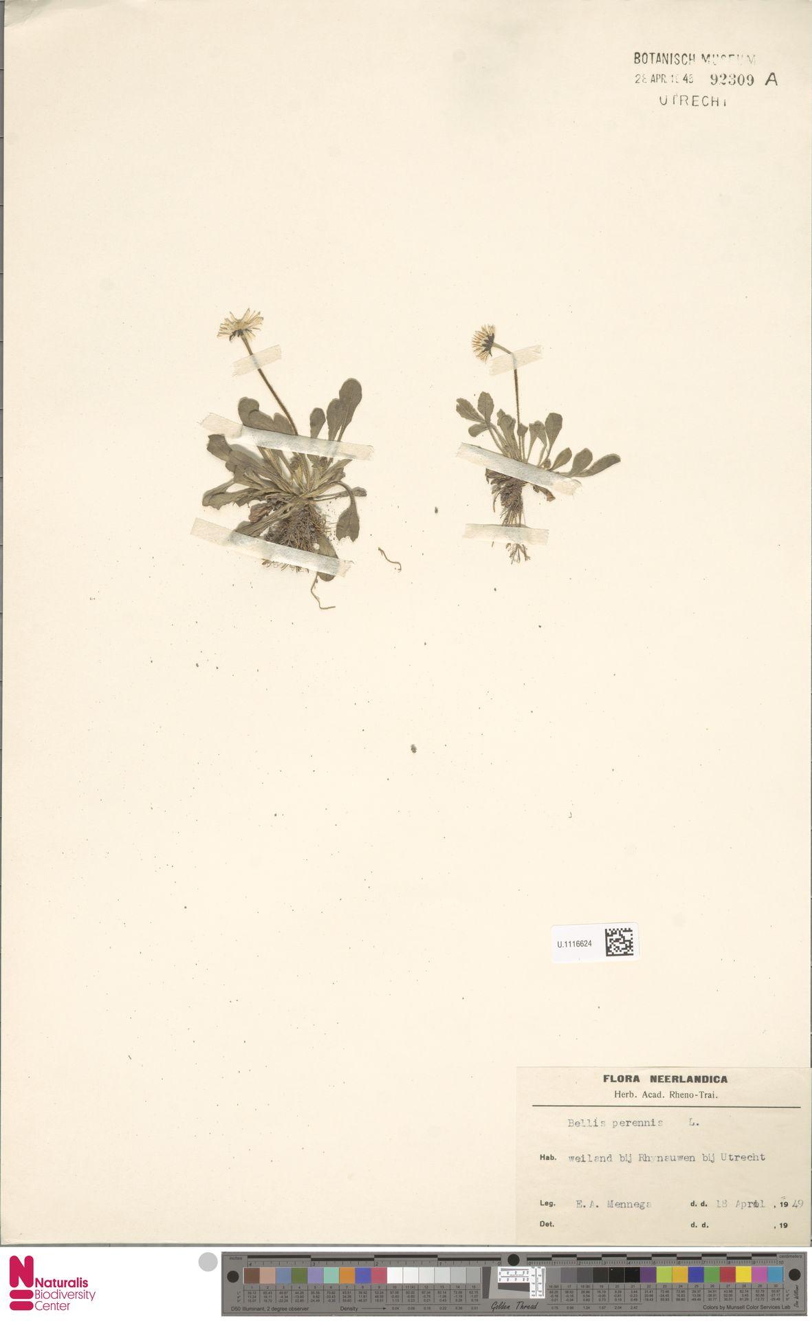U.1116624   Bellis perennis L.