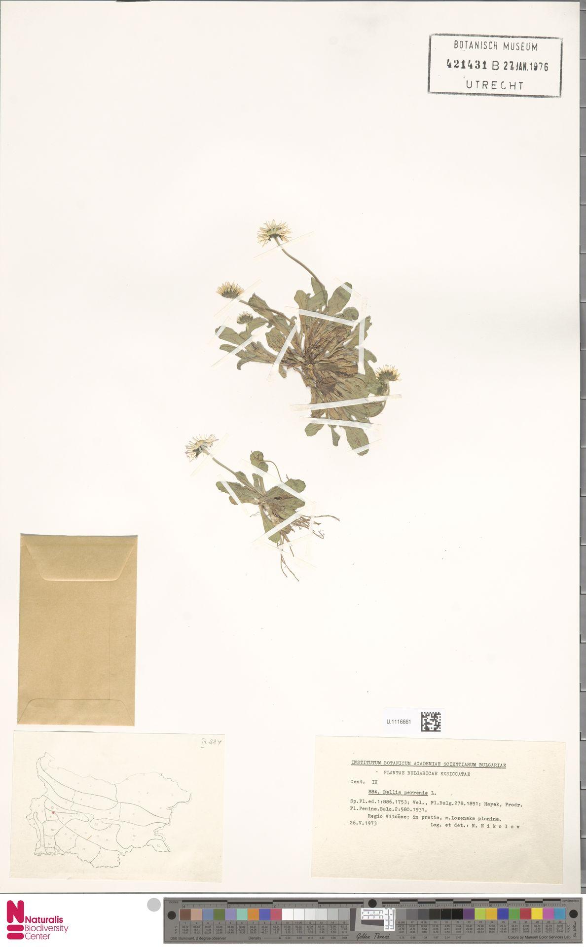 U.1116661 | Bellis perennis L.