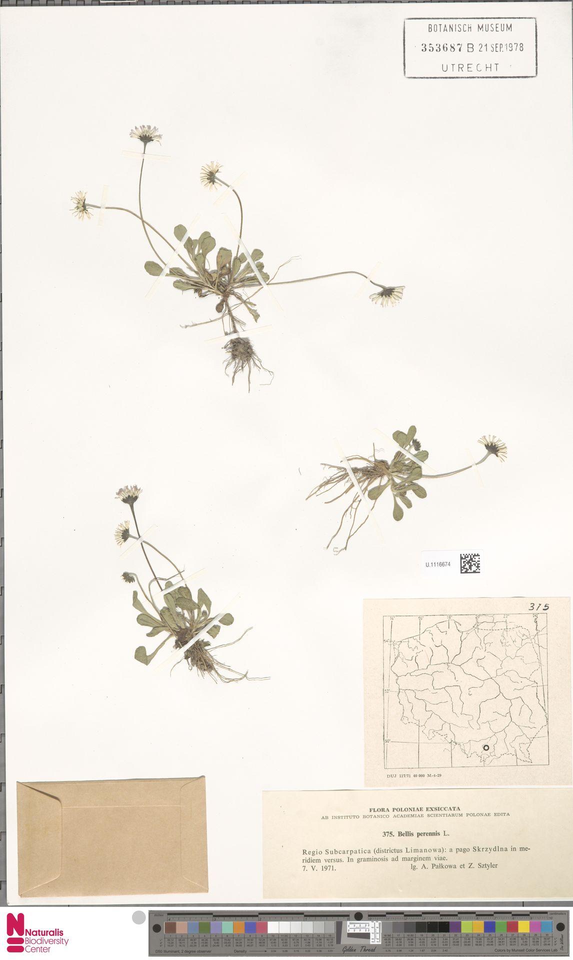 U.1116674 | Bellis perennis L.