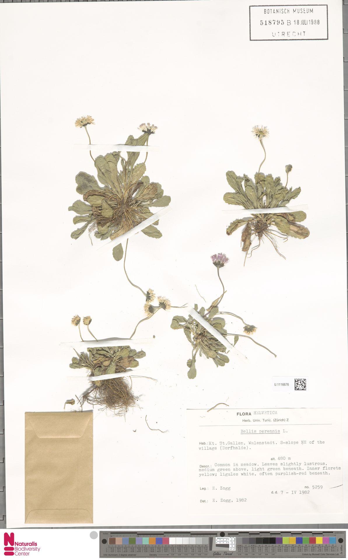 U.1116676   Bellis perennis L.