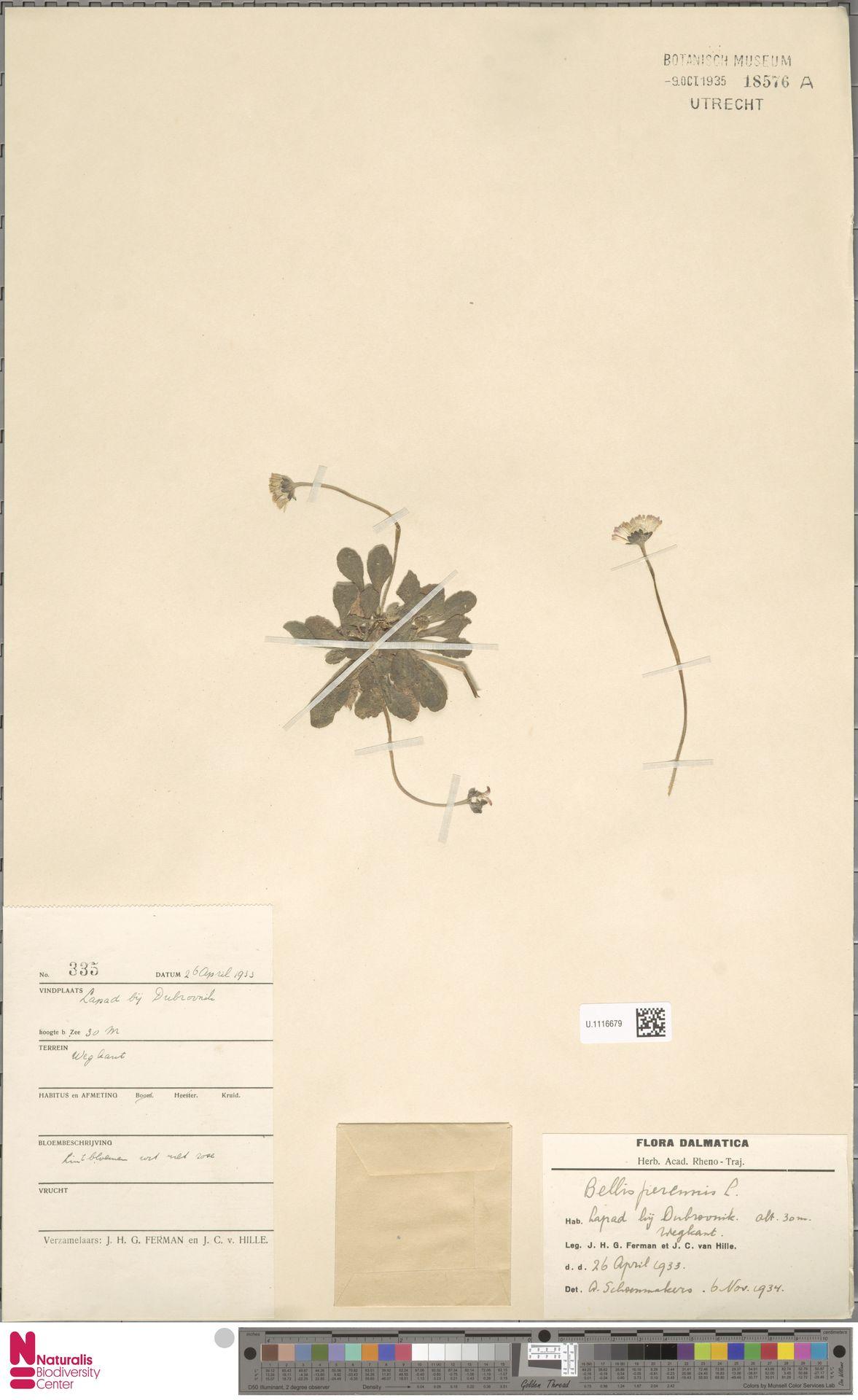 U.1116679   Bellis perennis L.