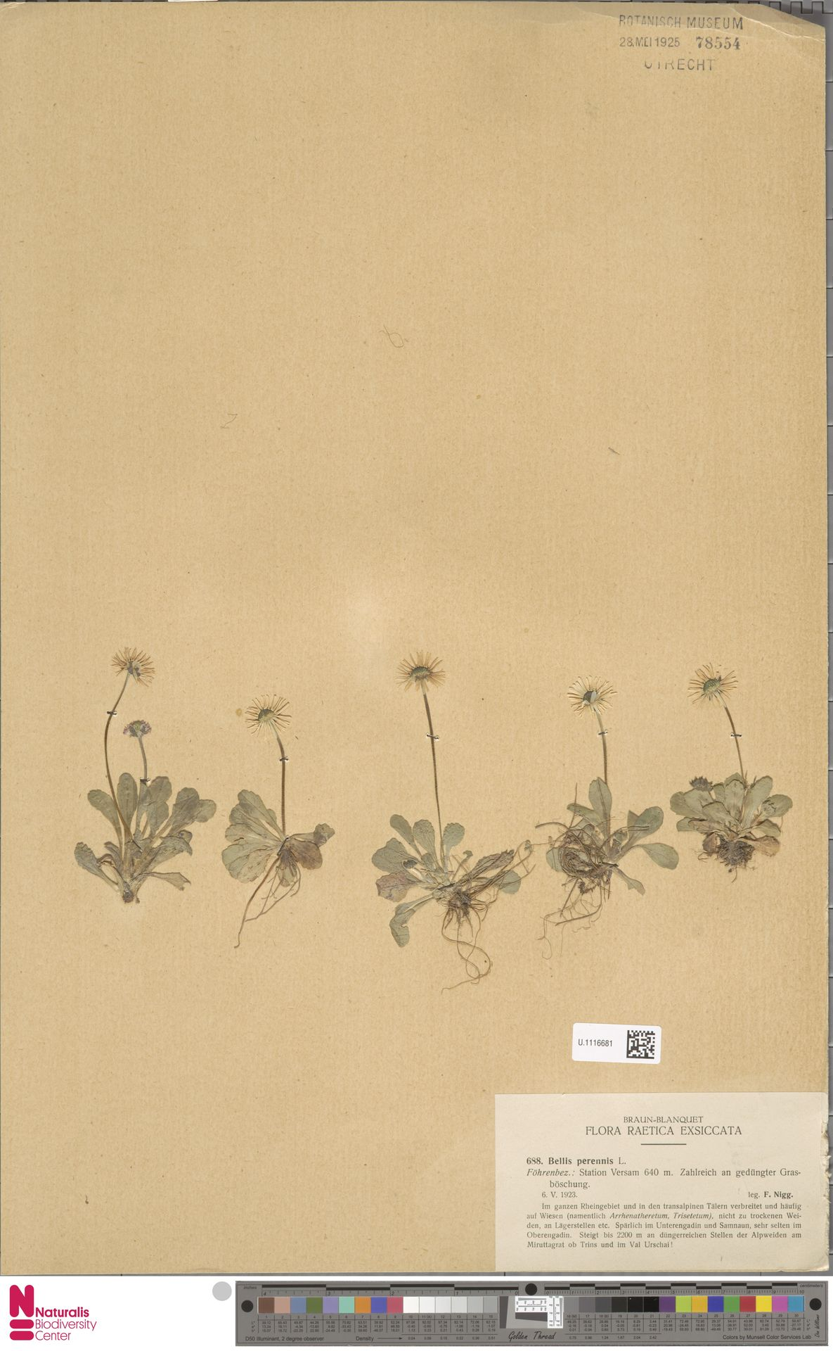 U.1116681 | Bellis perennis L.