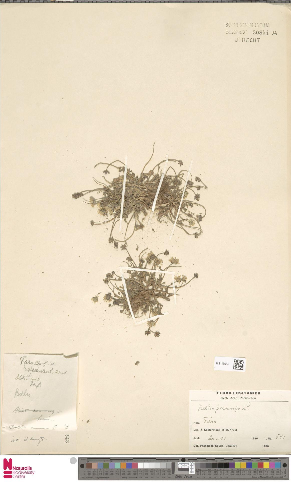 U.1116684 | Bellis perennis L.