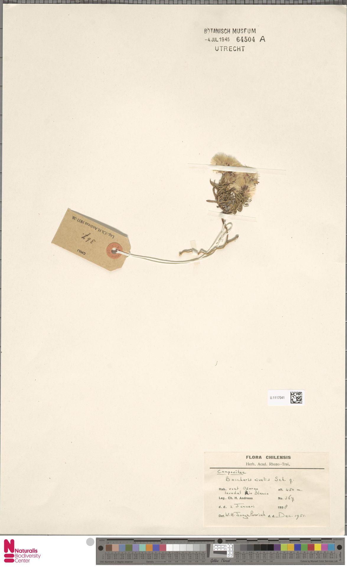 U.1117041 | Baccharis nivalis (Wedd.) Sch.Bip. ex Phil.
