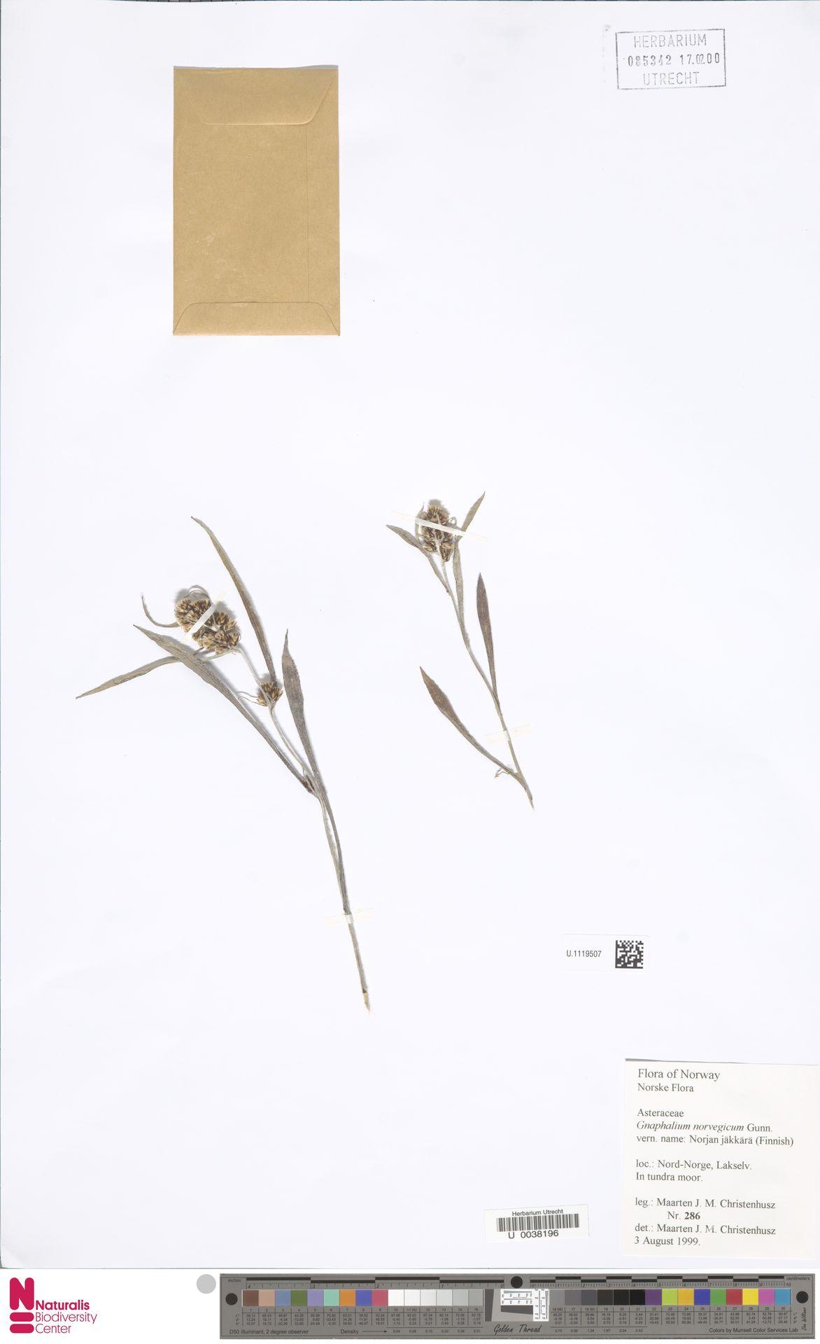 U.1119507   Gnaphalium norvegicum Gunnerus