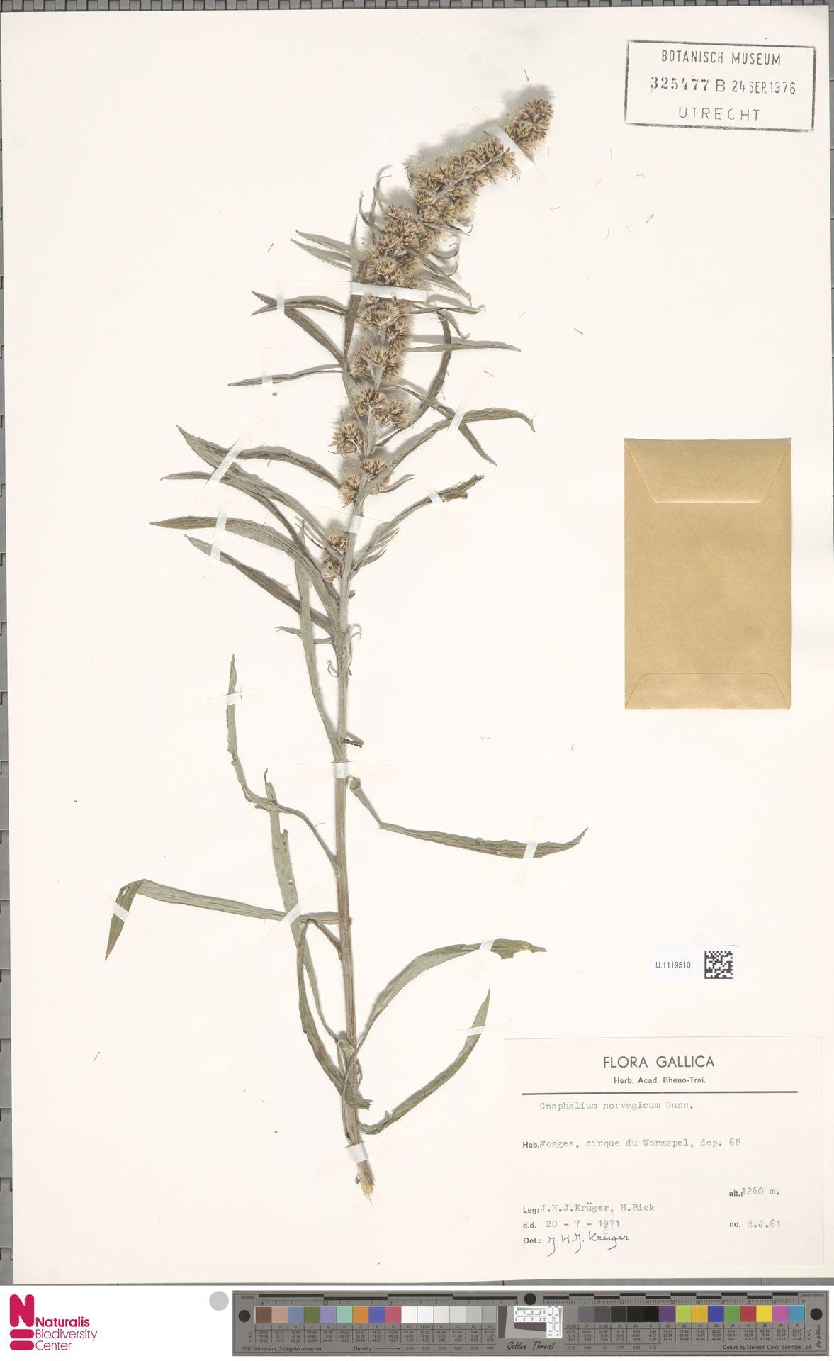 U.1119510   Gnaphalium norvegicum Gunnerus