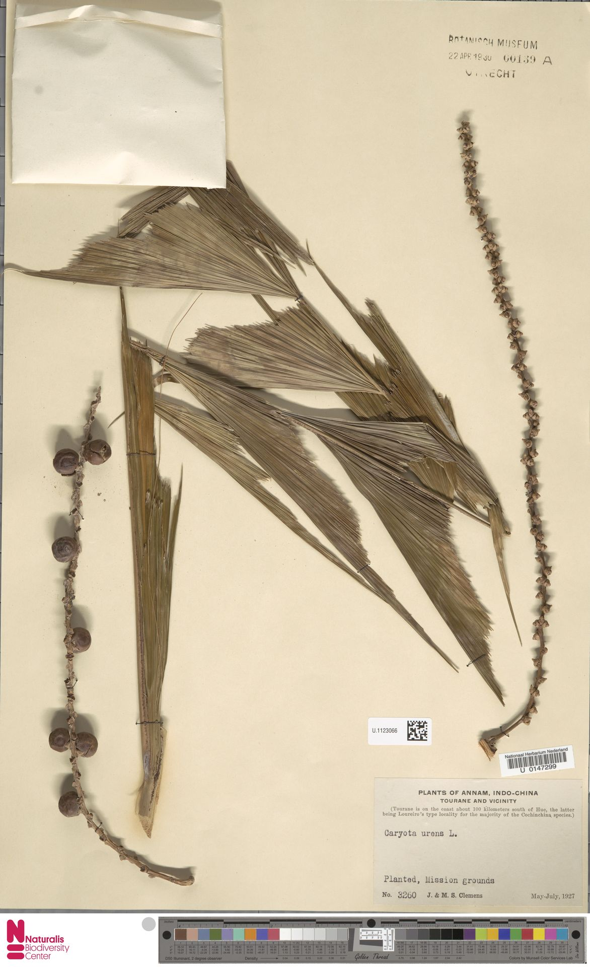 U.1123066 | Caryota urens L.