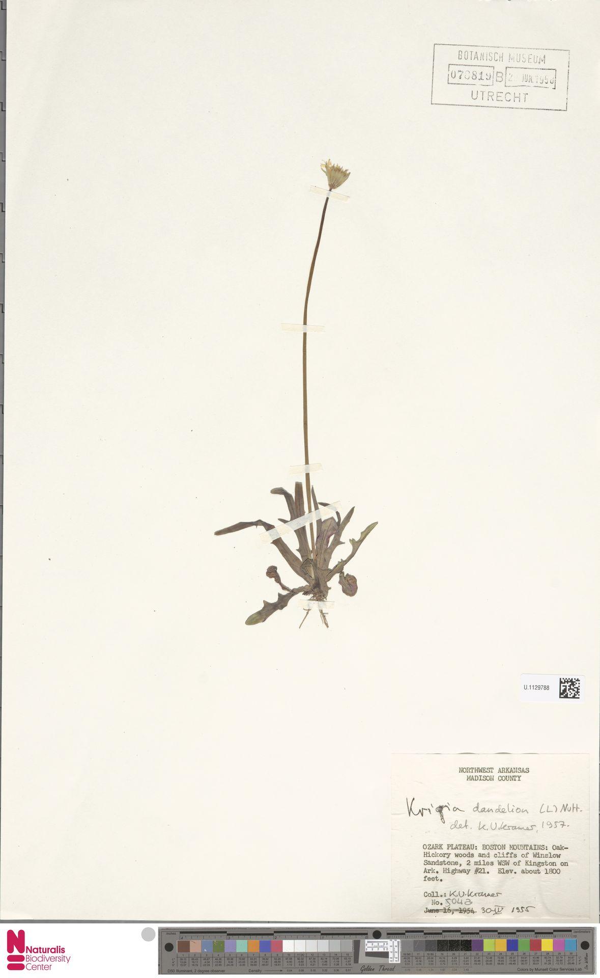 U.1129788 | Krigia dandelion (L.) Nutt.