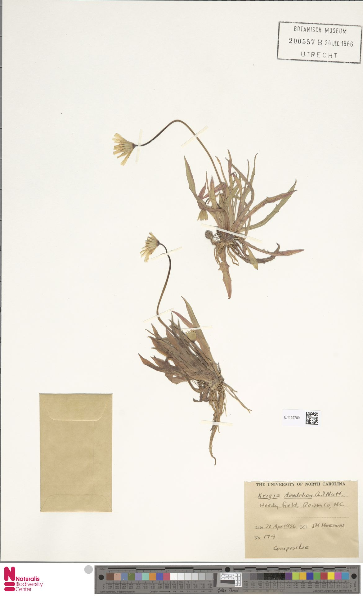 U.1129789 | Krigia dandelion (L.) Nutt.