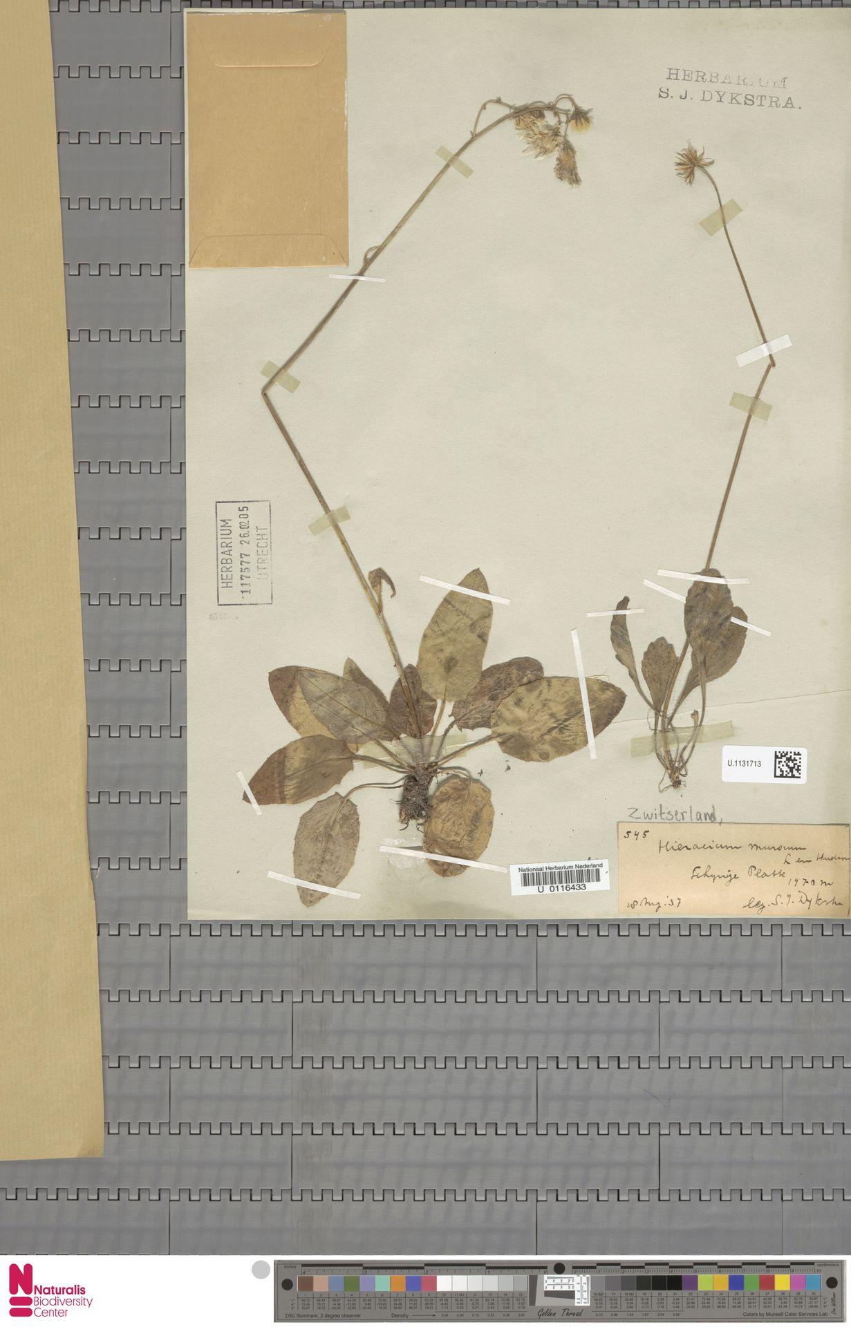 U.1131713 | Hieracium murorum L.