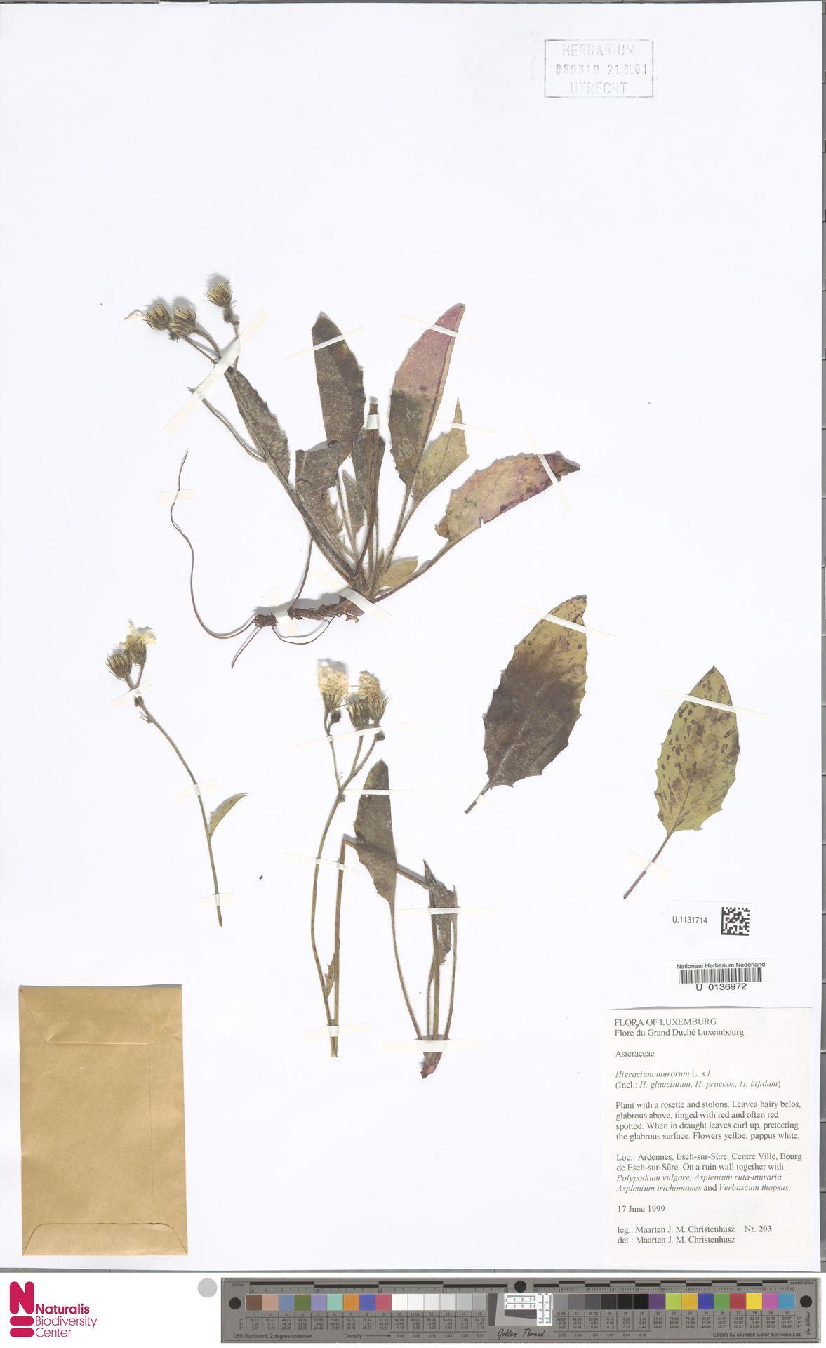U.1131714 | Hieracium murorum L.