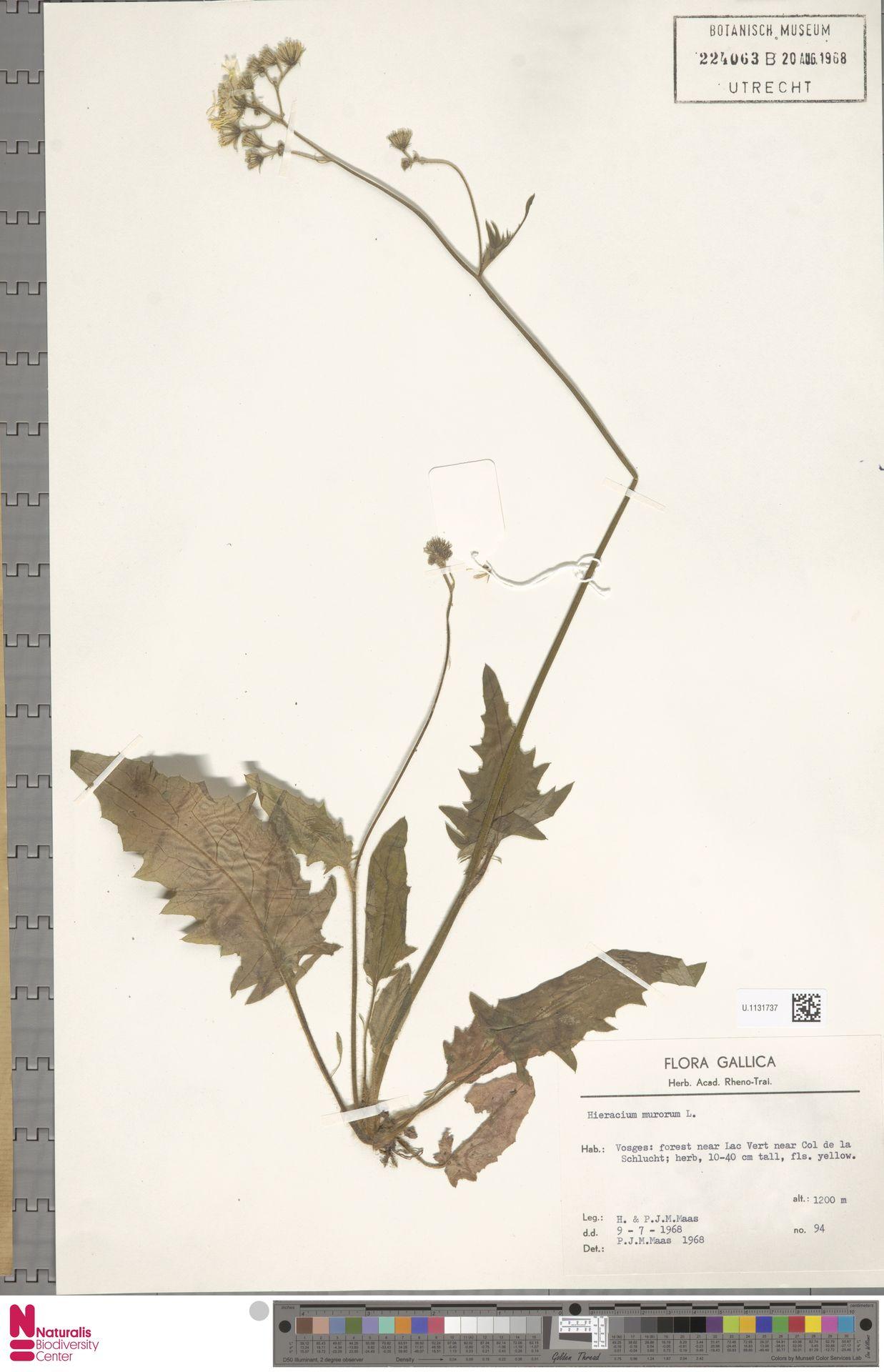 U.1131737 | Hieracium murorum L.