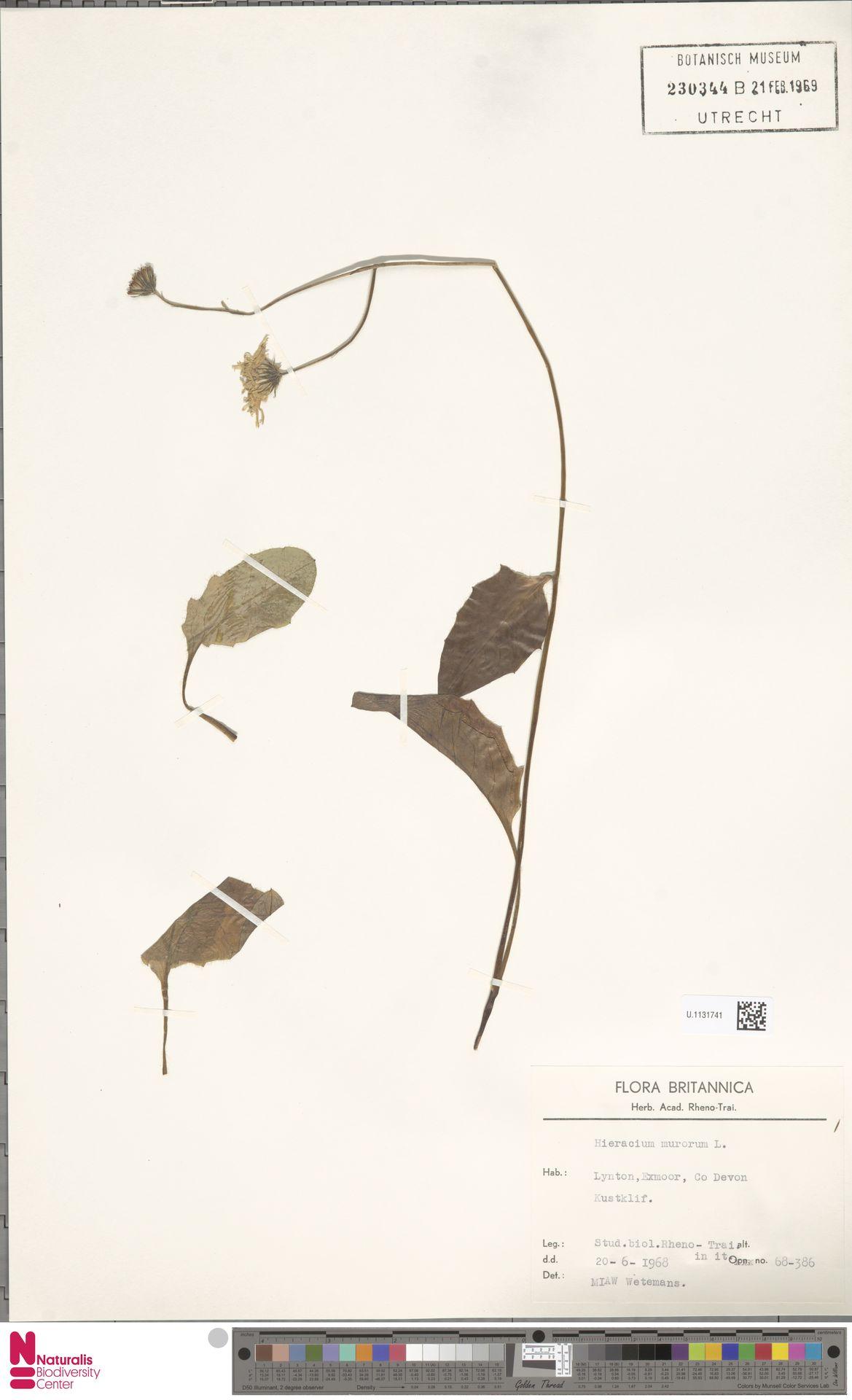 U.1131741 | Hieracium murorum L.