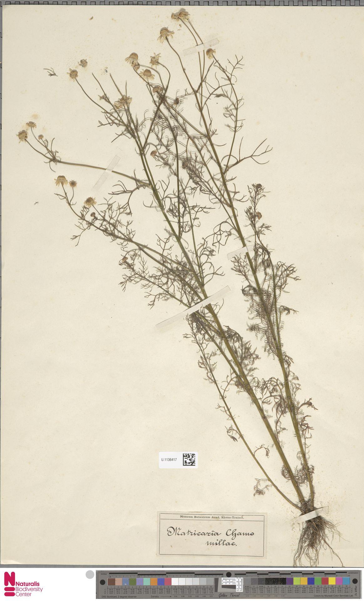 U.1136417 | Matricaria chamomilla L.