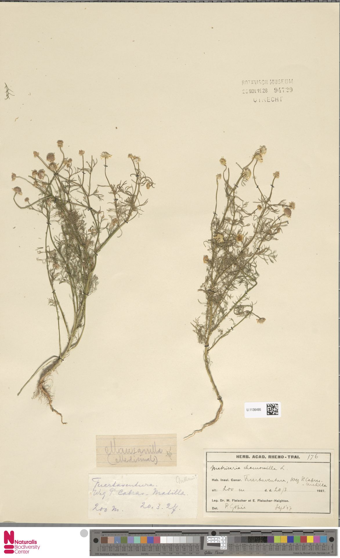 U.1136495   Matricaria chamomilla L.