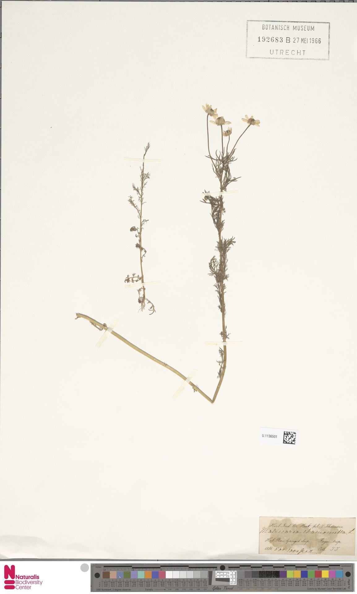U.1136501 | Matricaria chamomilla L.