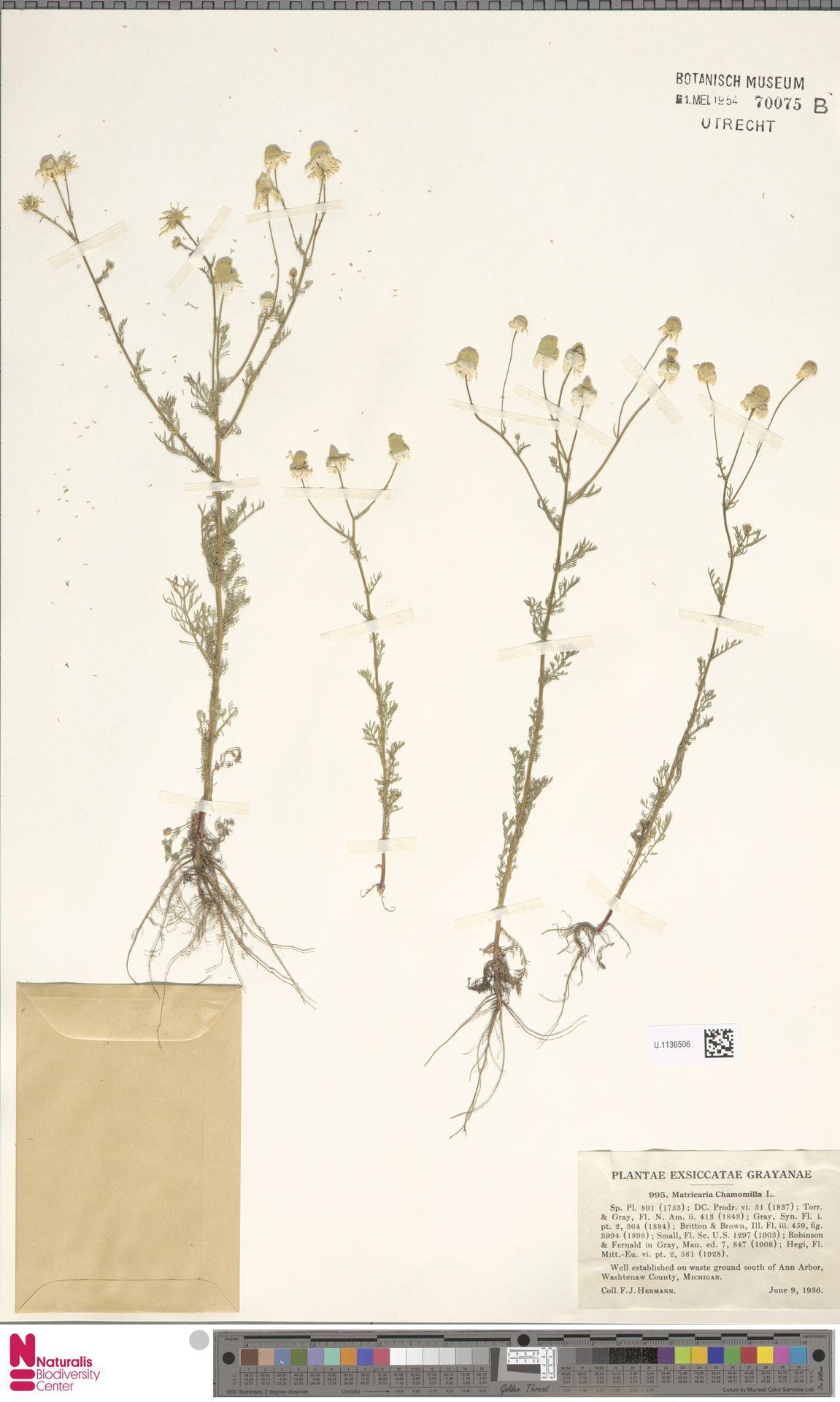 U.1136506 | Matricaria chamomilla L.