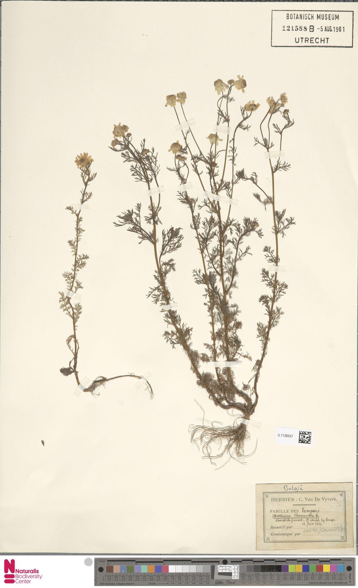 U.1136547   Matricaria chamomilla L.