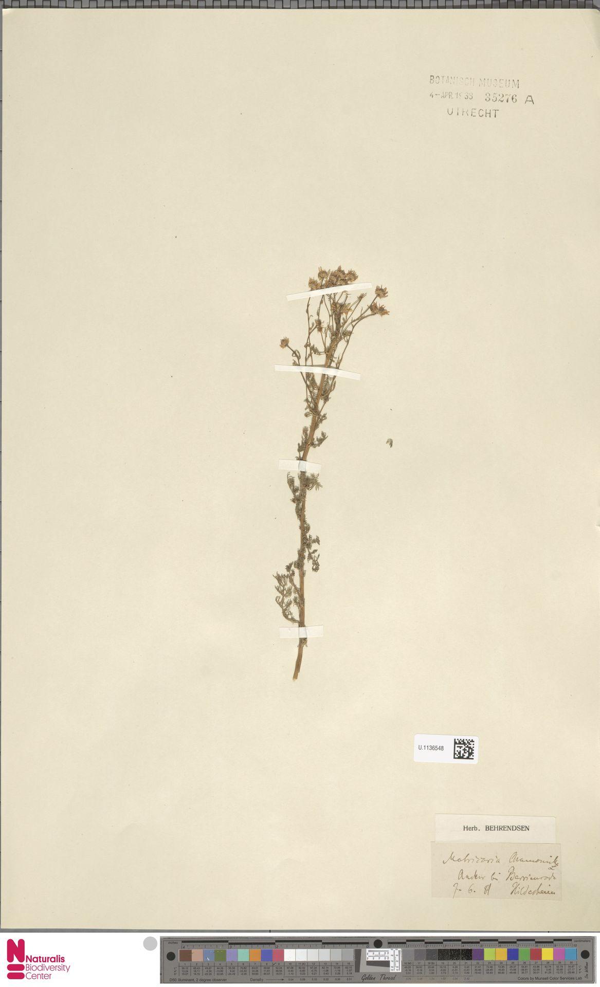 U.1136548 | Matricaria chamomilla L.