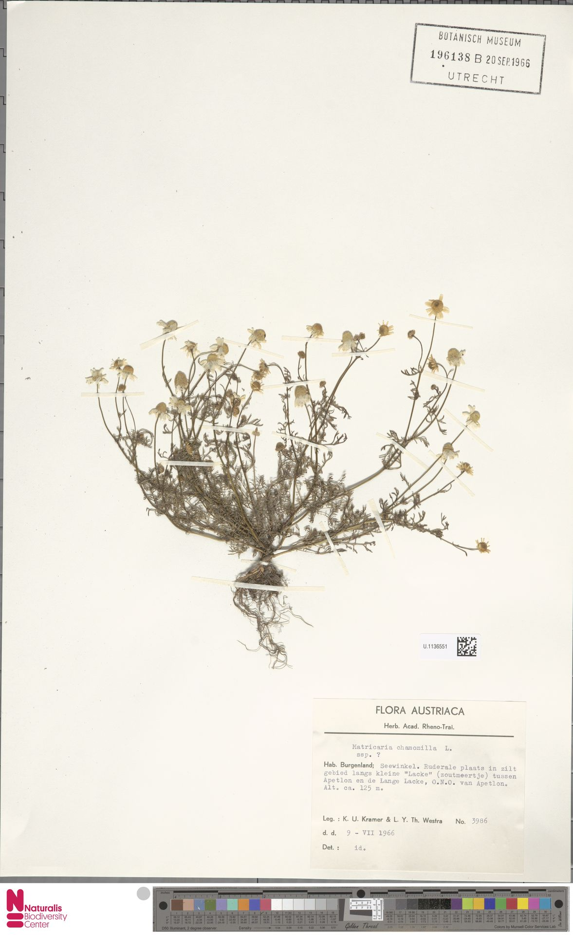 U.1136551 | Matricaria chamomilla L.