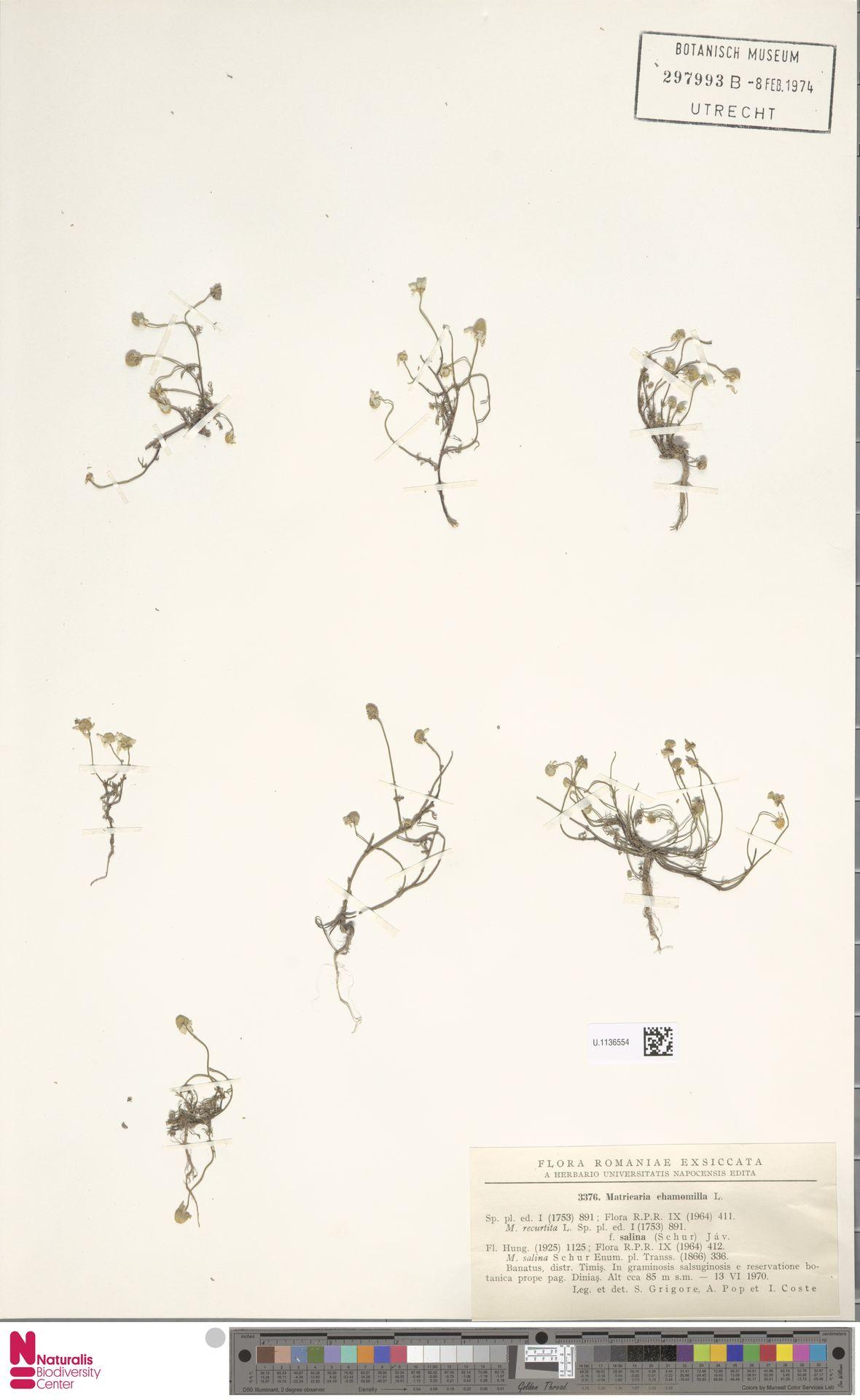 U.1136554   Matricaria chamomilla L.