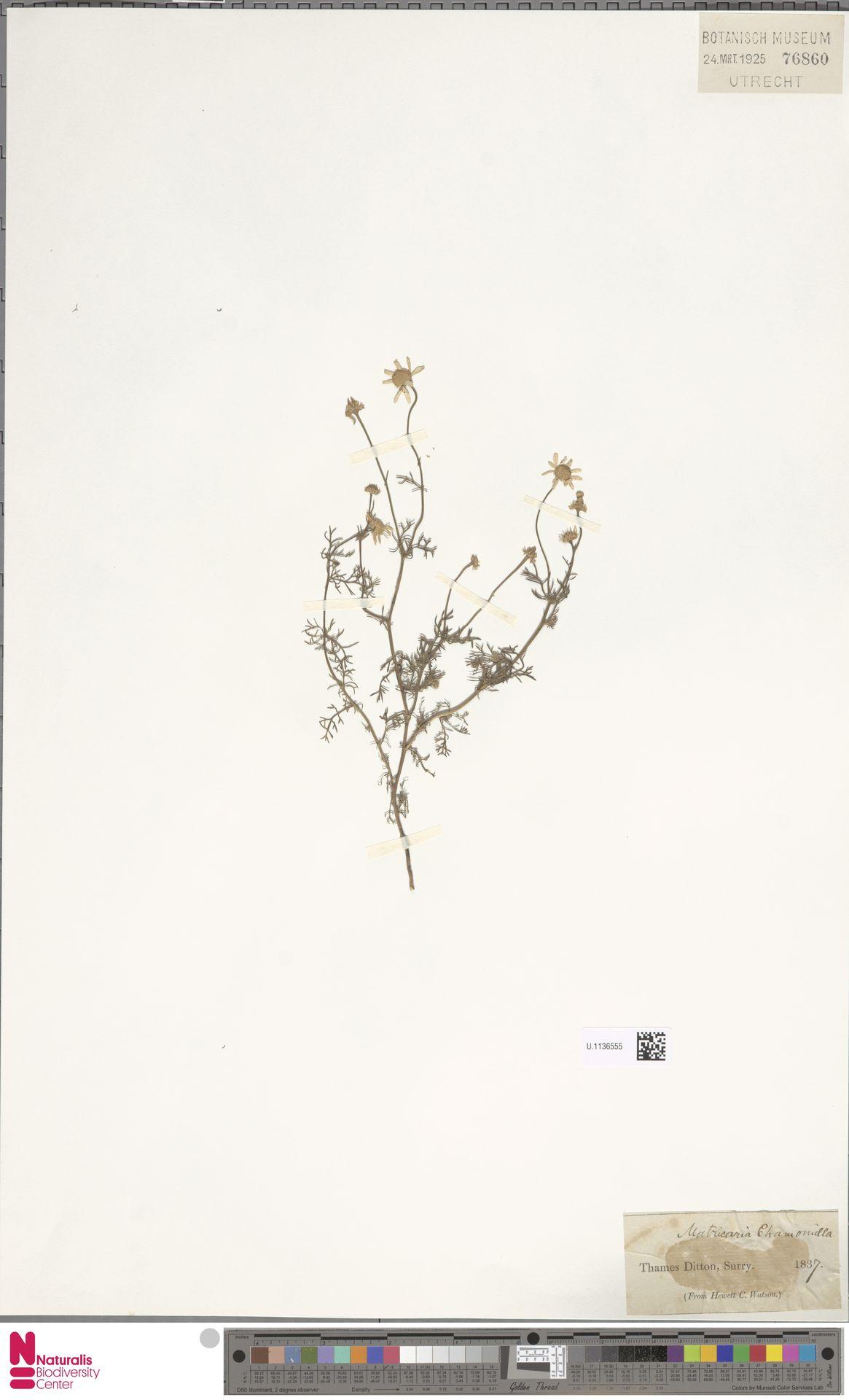 U.1136555 | Matricaria chamomilla L.
