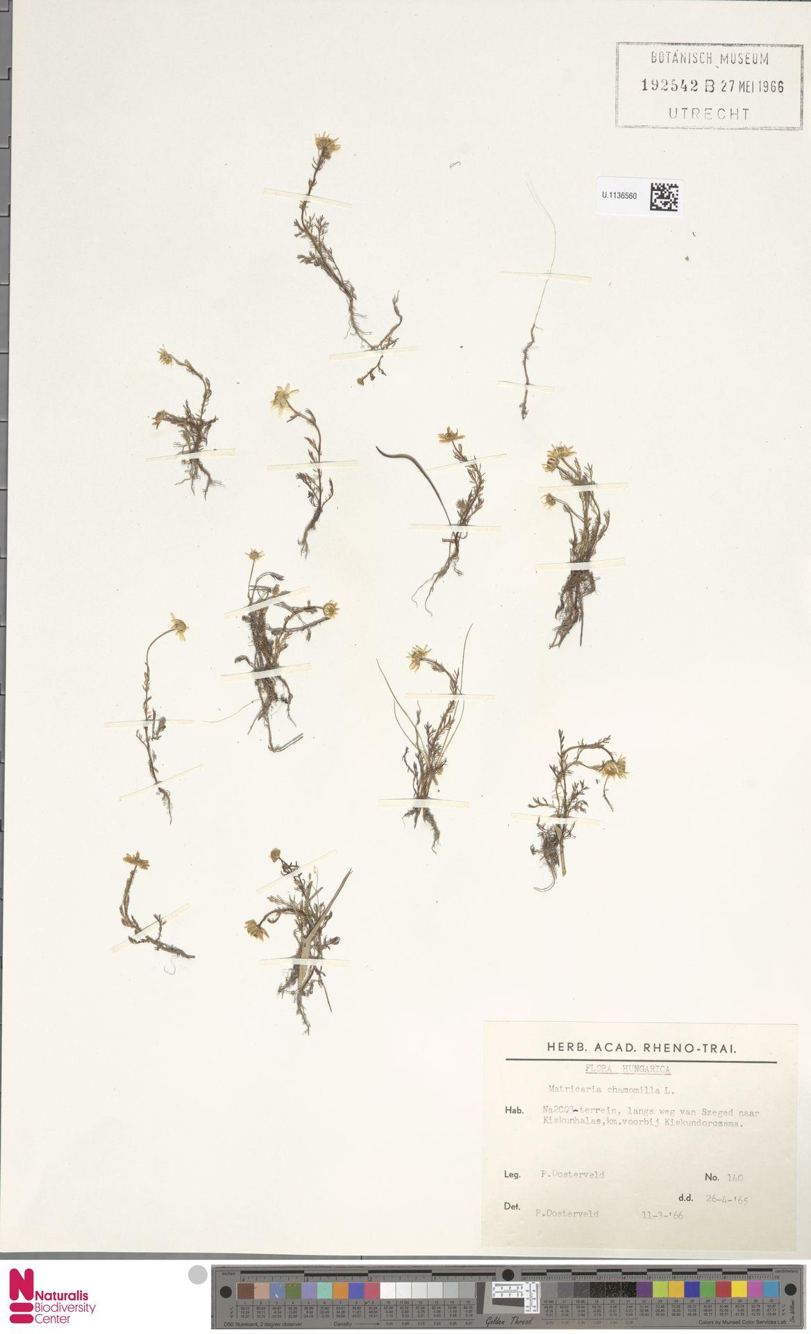 U.1136560   Matricaria chamomilla L.